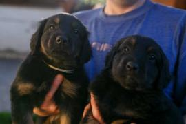 Hovawart puppies (kennel Gallant Colorit)