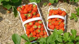 Strawberry picking season 2020, the work in Poland